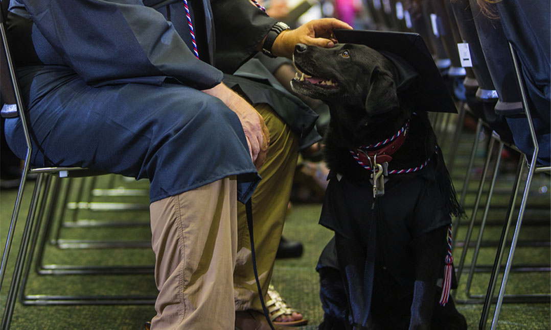 A black lab service dog looks up at its veteran during a college graduation ceremony