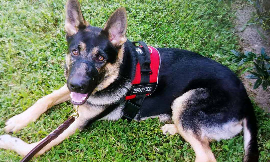 Therapy dog Shadow is a German Sheppard